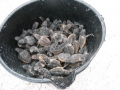 bucketofhatchlings