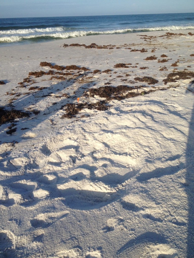 ALMOST LOST THIS LOGGERHEAD NEST FOUND BY MIKE THE TIDE HAD COVERED ALL INCOMING TRACK
