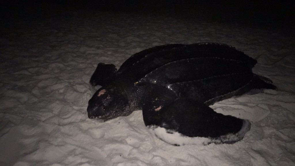 Our first leatherback of the year and our third ever.