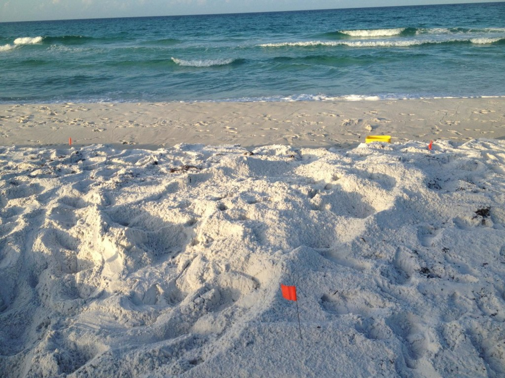 Another low Loggerhead nest found by Courtney, eggs on the bottom of this nest were in the water