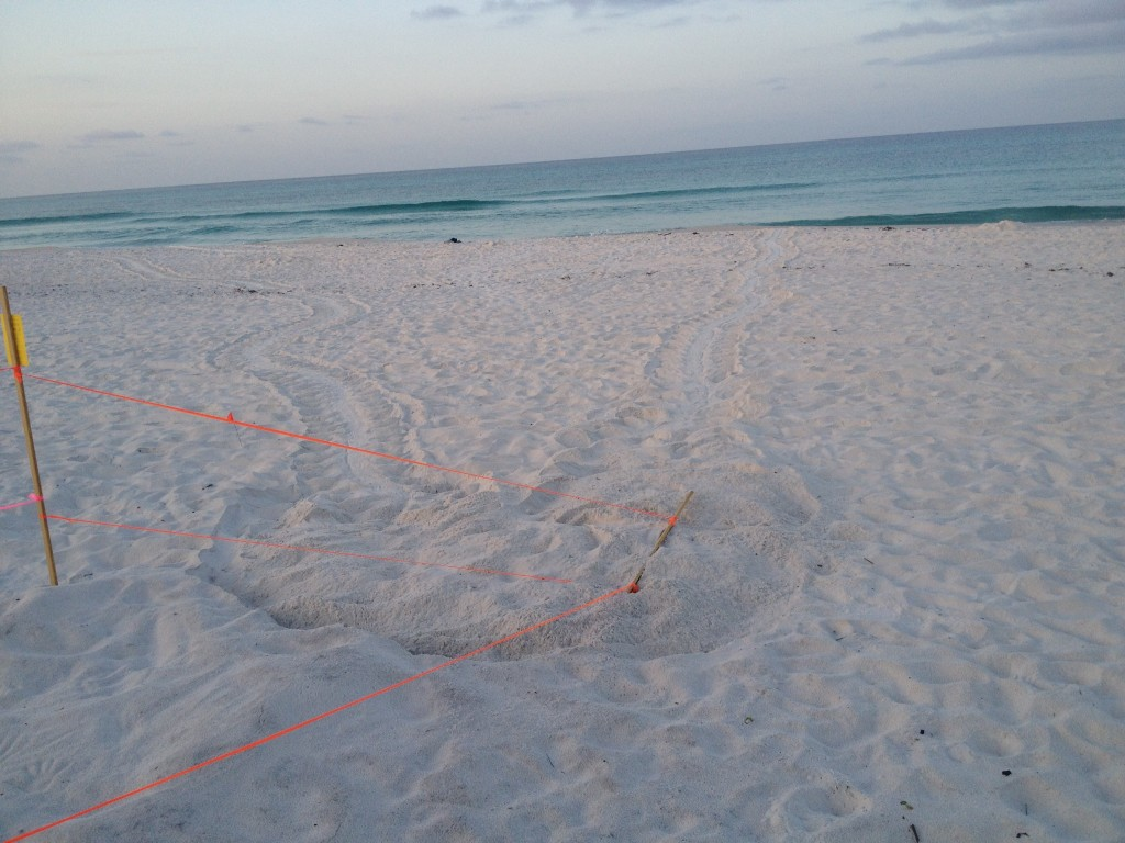 This Loggerhead sea turtle came up right next to the green that was laid days ago and nested even knocked down a stake.