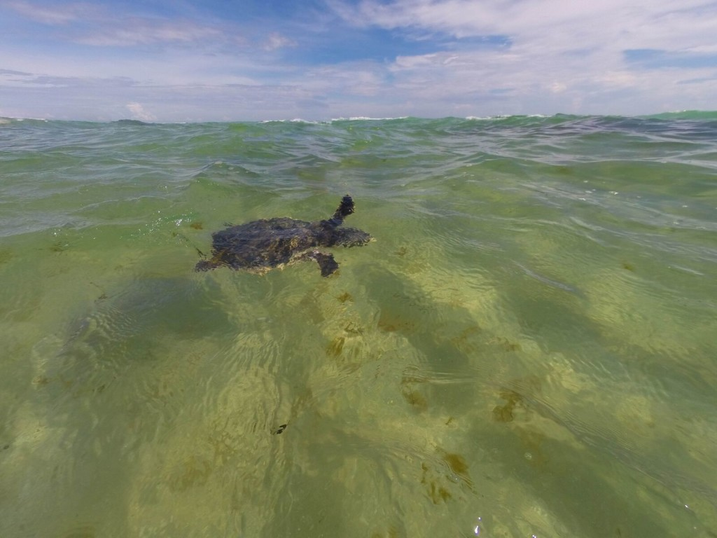 8-20-2015 turtle release