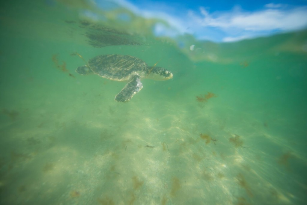 8-20-2015 turtle release #4
