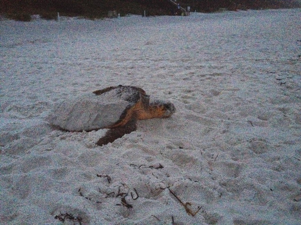 Here is jumping Valerie who after 16 years of walking got to see this nesting female go back into the water after this loggerhead laid nest #82