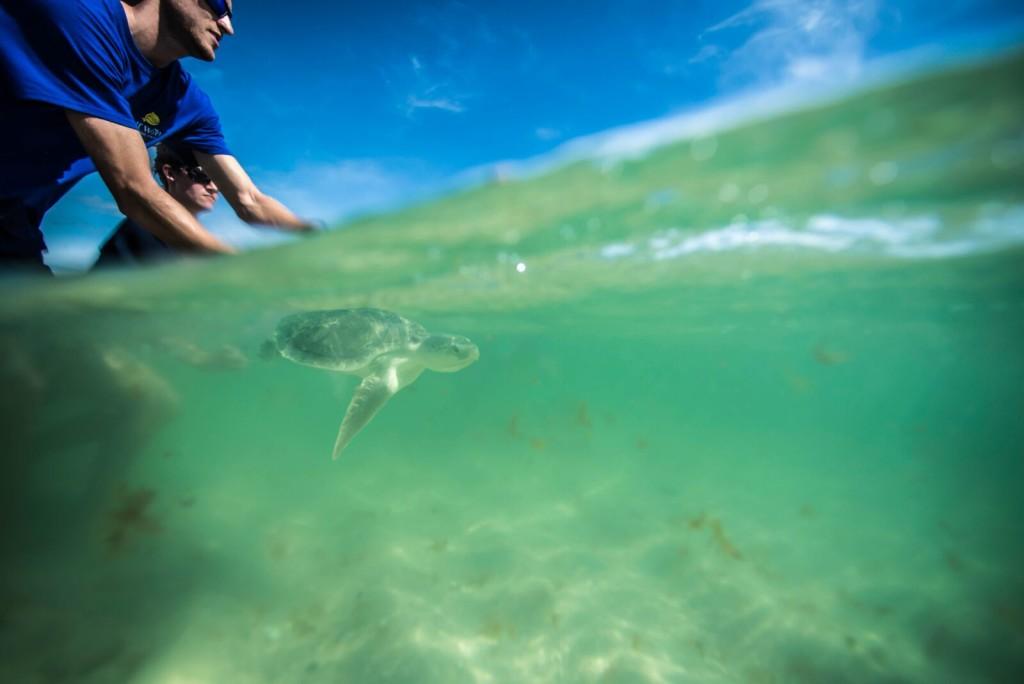 sea turtle release 8- 20-2015jXb0JvF1xvJJnV6nPLI-Cq6Y7E